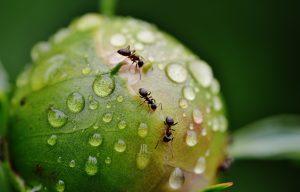 Cómo Deshacerse de las Hormigas – 11 Remedios Caseros para Usted