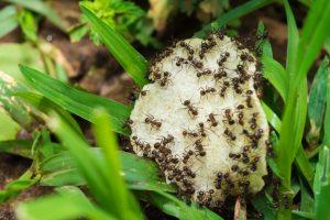 Grupo de hormigas están comiendo fruta