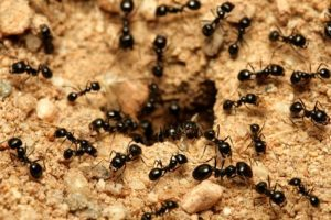 Grupo de hormigas de jardín negras cerca del nido