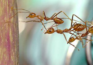 Tres hormigas están tratando de escalar el árbol