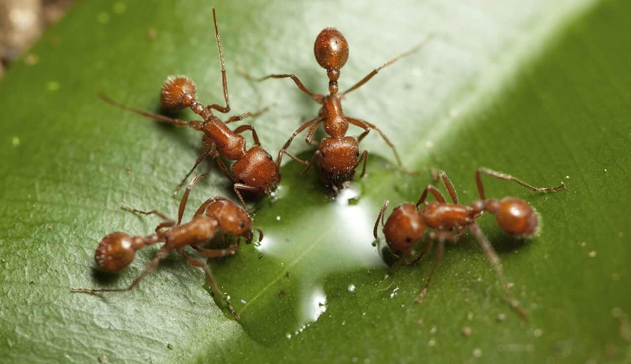 Un grupo de hormigas son agua potable de la hoja verde