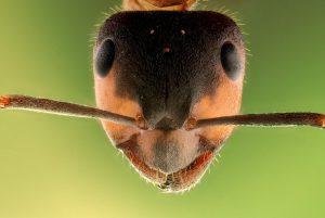¿Cómo Deshacerse de las Hormigas Fantasma Naturalmente?