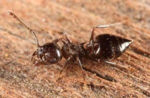 Hormiga acróbata tirada en el suelo