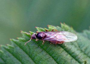 ¿Cómo Deshacerse de las Hormigas Voladoras Naturalmente?