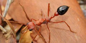 Hormigas Bulldog: Información Básica, Hormiga Bulldog Picadura y Cómo Deshacerse de ellas