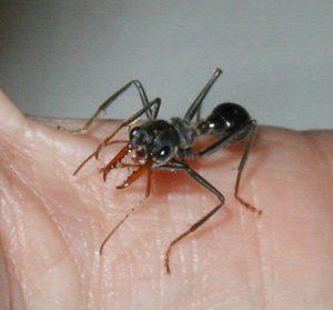 Hormiga de Bulldog en la piel humana