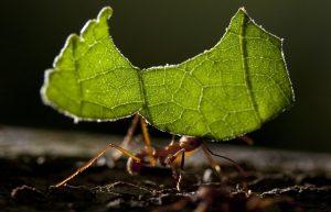 Hormiga cortador de hojas robar la hoja verde