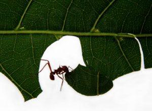 Hormiga cortadora de hojas está cortando hoja verde