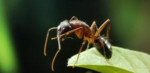 Hormiga cortadora de hojas en la planta verde