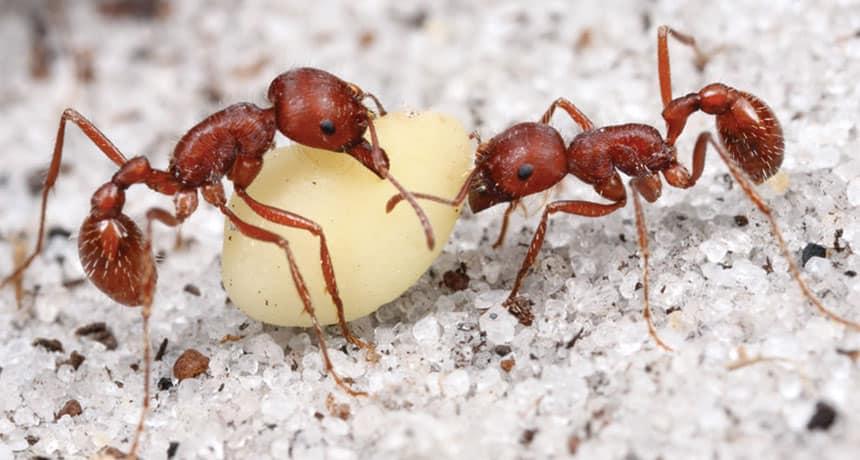Hormiga Cosechadora: Información Básica, por qué Muerden y 2 Mejores Formas de Controlarlos