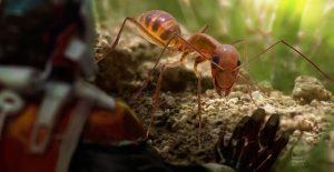 Gran primer plano de la hormiga loca amarilla