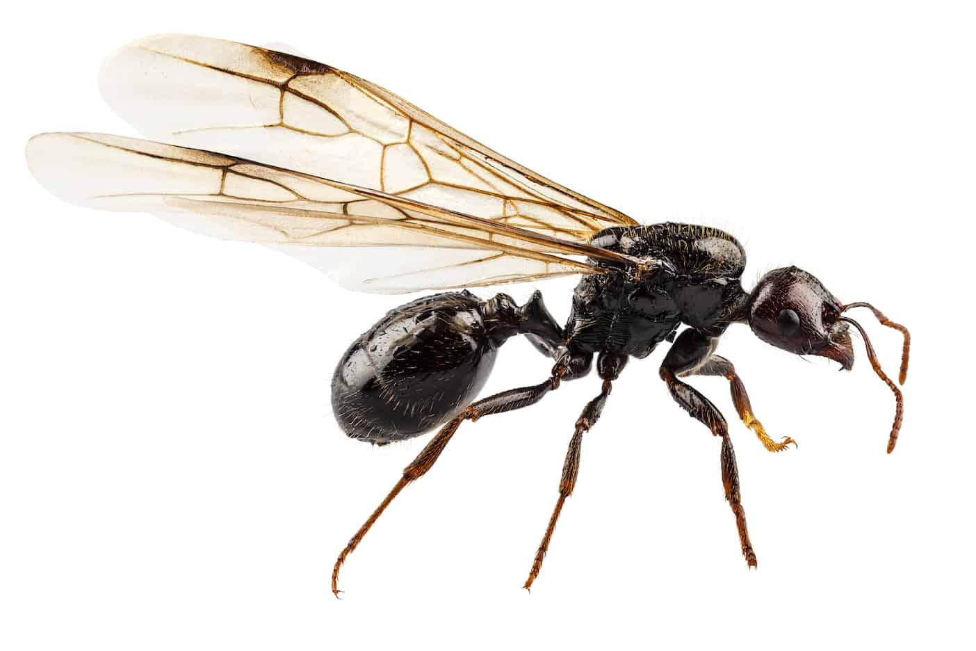 Hormigas voladoras del pavimento