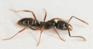 Grande asiático aguja hormiga en el blanco piso