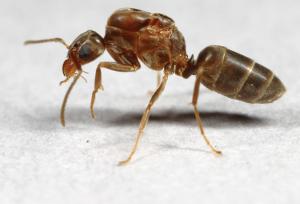 Primer plano de la hormiga argentina