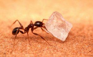 Cómo Deshacerse de las Hormigas Azucareras en su Hogar