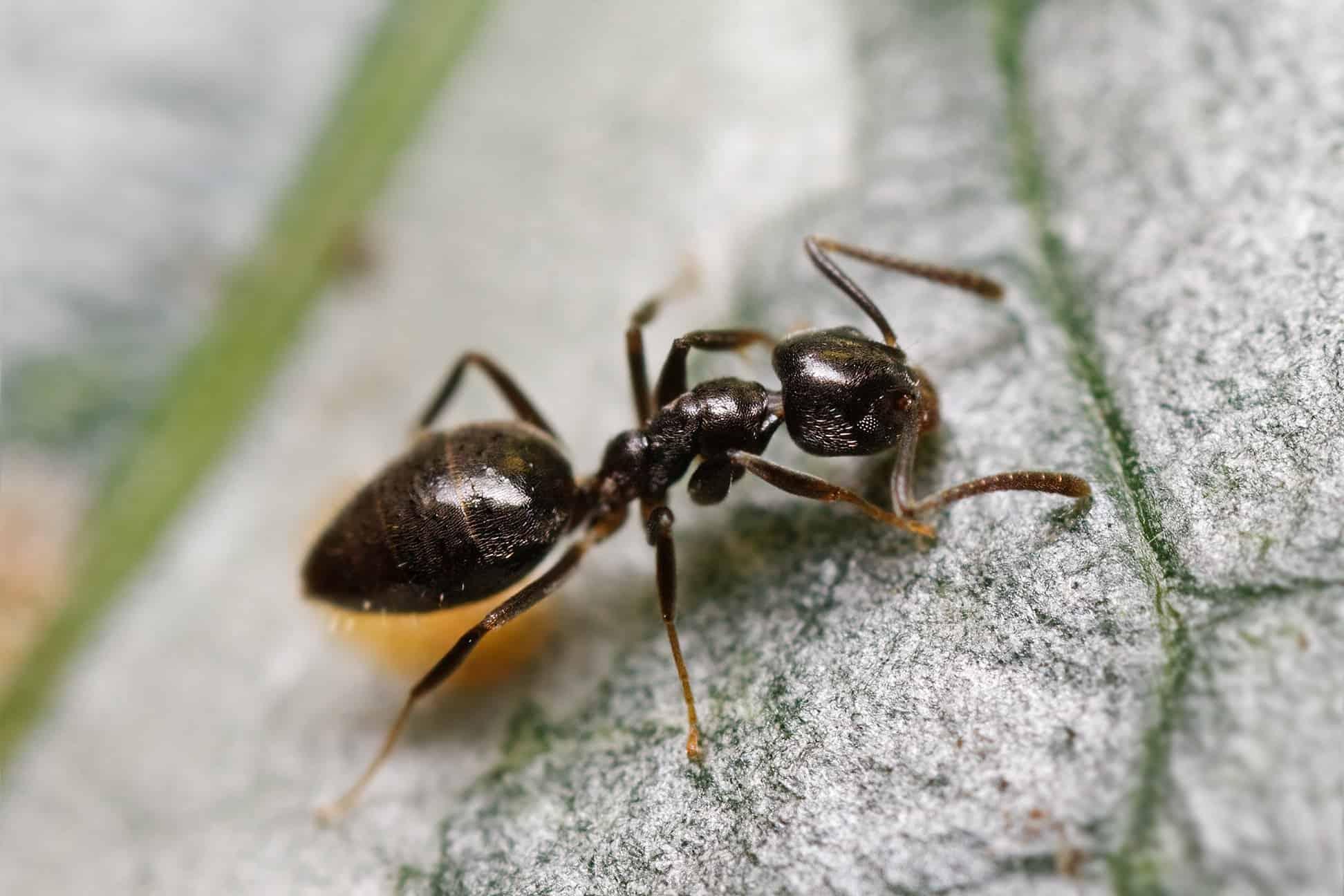 ¿Cómo Deshacerse de las Hormigas Caseras Olorosas (Efectivamente)?