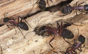 Cerca de hormigas carpinteras