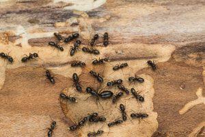 11 Diferencias entre Hormigas de Carpintero VS Termitas