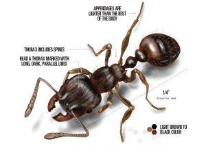 Información de la hormiga de pavimento
