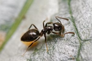 Hormiga de la casa olorosa escalando la pared exterior