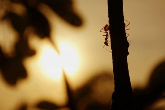 Cómo Matar Hormigas de Fuego (3 Asesinos de Hormigas de Fuego Caseras)