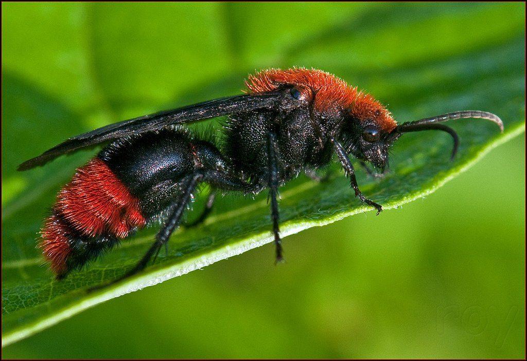 Hormigas de terciopelo rojo hembra y macho