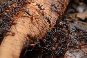 Grupo de hormigas del ejército escalando el árbol