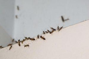 6 Remedios Efectivos para el Hogar para Deshacerse de Hormigas