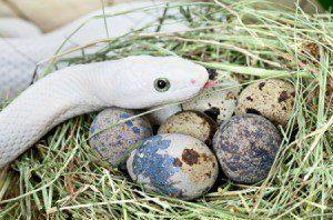 Serpiente blanca con sus huevos