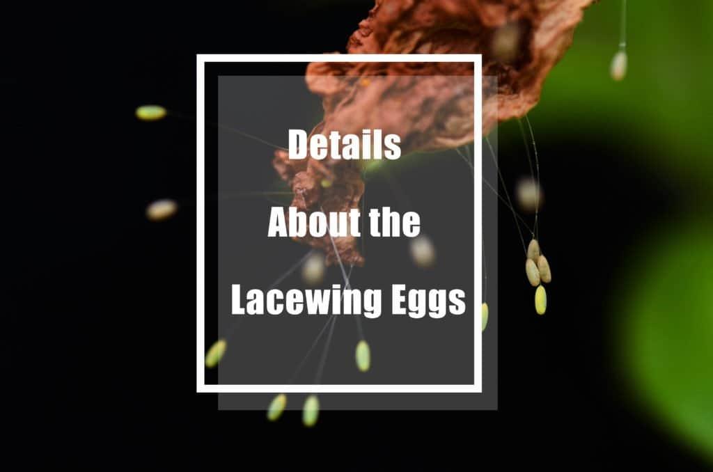 Todos los Detalles Menos Conocidos sobre los Huevos de Ala de Encaje