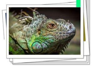 Iguana en la naturaleza