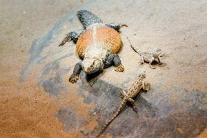 Iguanas del desierto en el zoológico.