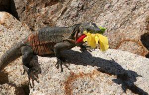 Dragón del desierto está comiendo una flor.