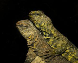 Lguana del Desierto: 4 Características Físicas Más 12 Hechos Divertidos