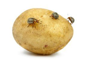 Patata infestada de escarabajos de patata de Colorado aislados en el fondo blanco.