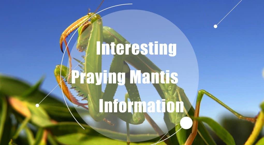 Mantis de Oración – Interesante Información de Mantis de Oración (2018)