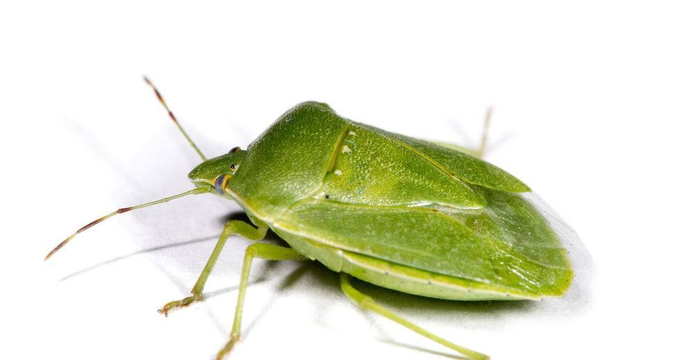 Insecto Apestoso Verde: Datos Interesantes, Daños y Cómo Deshacerse de ellos