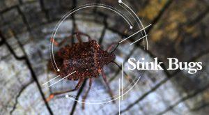Mira el insecto apestoso con una lupa