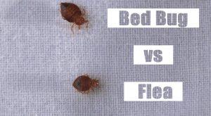 Insecto de Cama vs. Pulga: Las Diferencias (más Insecto de Cama Vs. Escarabajo de Alfombra Vs. Garrapata)
