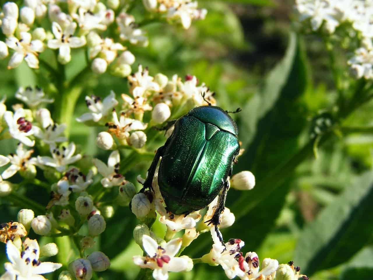 Insecto Junio: Hechos Generales y Repelentes Comerciales para Deshacerse de ellos