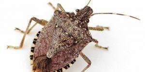Cómo Matar Insectos Apestosos (Naturalmente) y Mantenerlos Alejados?