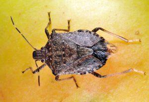 Gran hedor bug tendido en el fondo amarillo