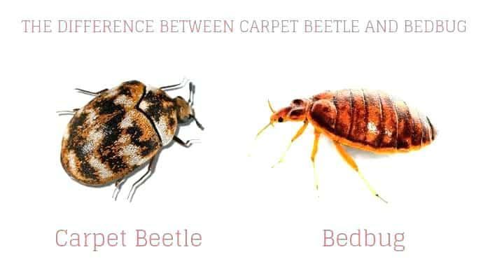 Cómo Decir la Diferencia entre los Insectos de la Cama y los Escarabajos de la Alfombra
