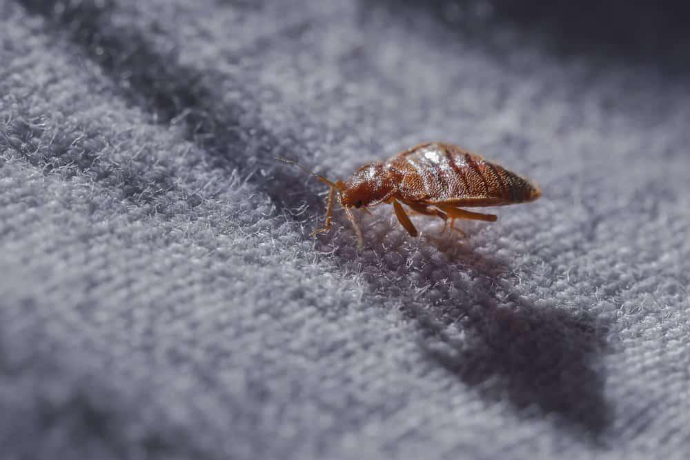 Un insecto de cama está acostado en el colchón