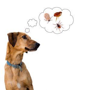 Un perro en blanco está pensando en problemas de insectos