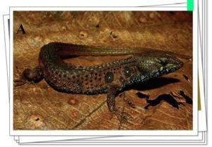 Lizards de Anteojos en la naturaleza