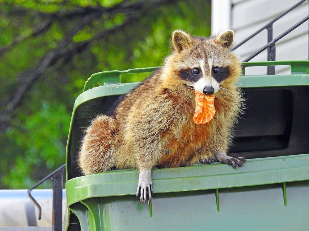 Un mapache si sentado en un grabage puede