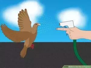 Usar manguera de agua para deshacerse de las palomas