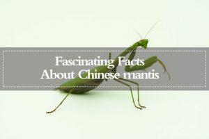 Mantis China — Datos Fascinantes sobre la Mantis China