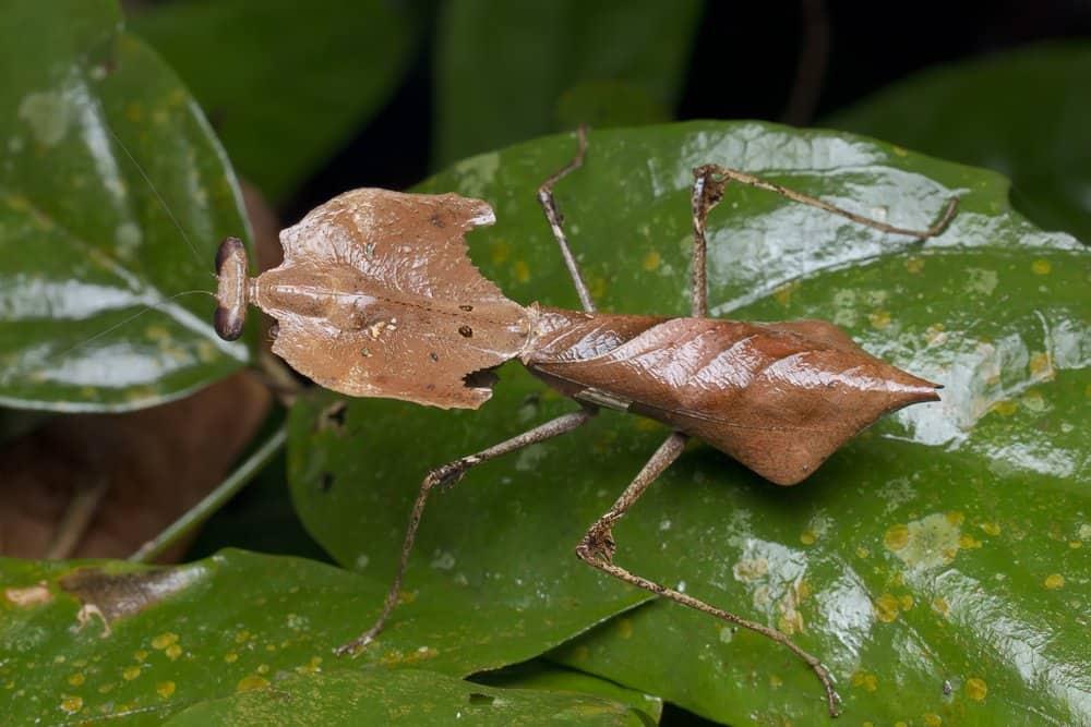 mantis de oración singel en la naturaleza